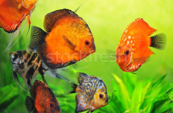 discus in aquarium Stock photo © cynoclub