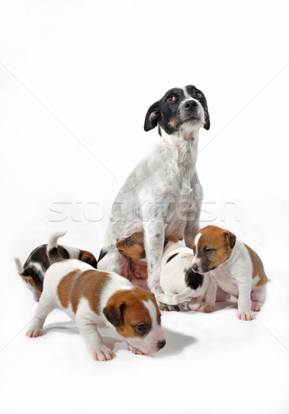 mother and puppies jack russel terrier Stock photo © cynoclub
