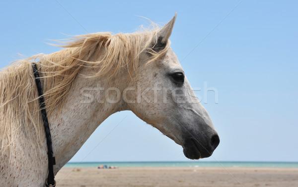 horse on the beach Stock photo © cynoclub