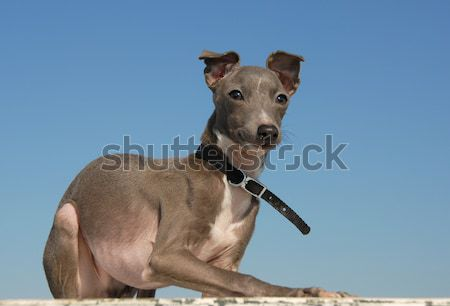 Italiaans windhond portret witte hond Stockfoto © cynoclub