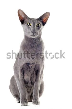 белый кошки портрет серый глазах Сток-фото © cynoclub
