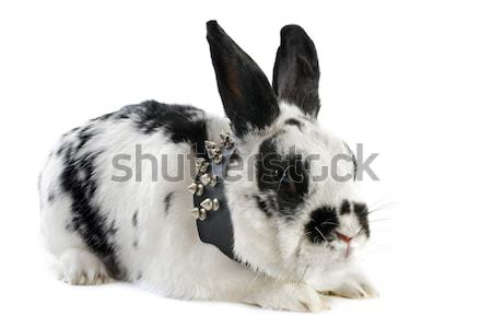 young dwarf rabbit  Stock photo © cynoclub