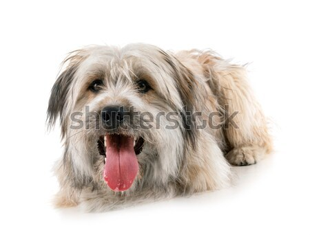 овчарка портрет белый собака студию сидят Сток-фото © cynoclub