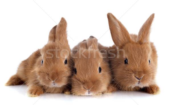 young rabbits Stock photo © cynoclub