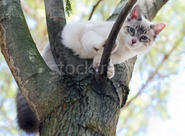 birman kitten Stock photo © cynoclub