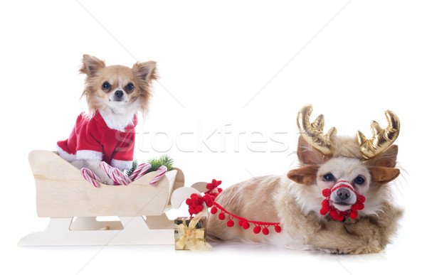 chihuahuas and sledge Stock photo © cynoclub