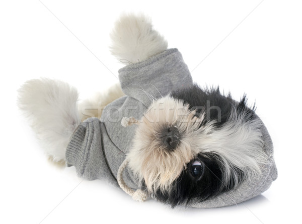 dressed puppy shitzu Stock photo © cynoclub