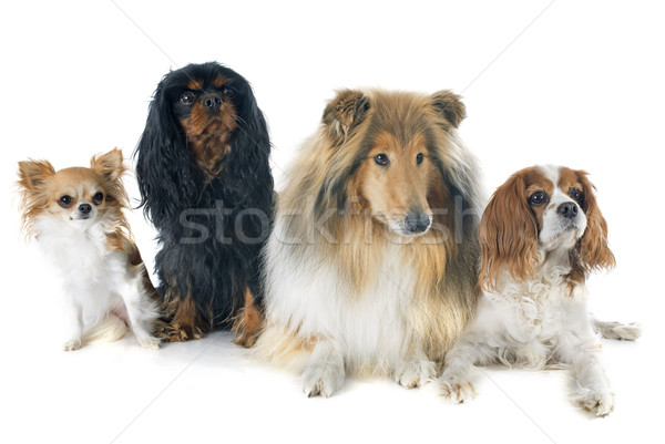 cavalier king charles and collie Stock photo © cynoclub