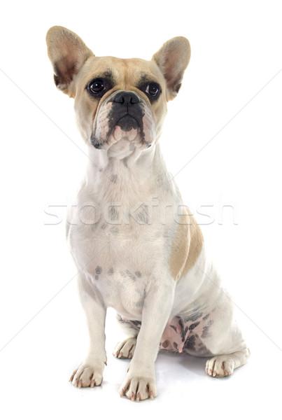 Fransız buldok beyaz köpek kadın stüdyo Stok fotoğraf © cynoclub