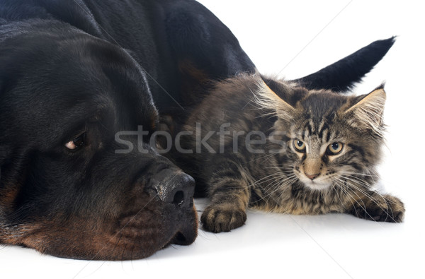 maine coon kitten and rottweiler Stock photo © cynoclub
