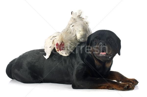Koguta rottweiler biały zabawy gospodarstwa zwierząt Zdjęcia stock © cynoclub