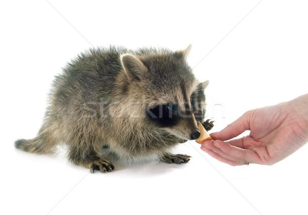 Jonge wasbeer eten witte appel vruchten Stockfoto © cynoclub