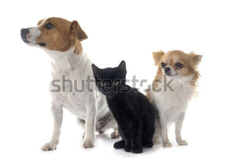 puppies jack russel terrier and chihuahua Stock photo © cynoclub