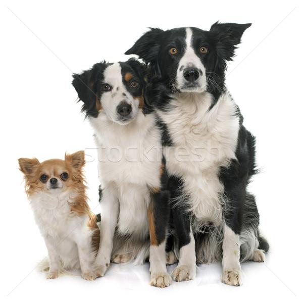 Stok fotoğraf: üç · sevimli · köpekler · border · collie · avustralya · çoban