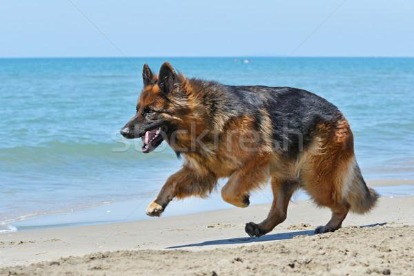 running german shepherd Stock photo © cynoclub