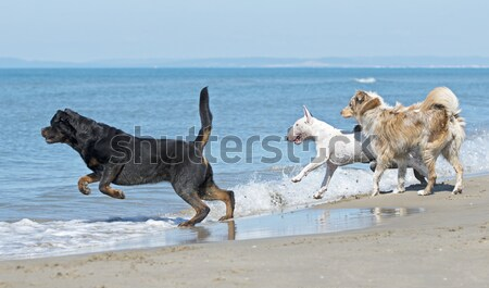 dogs running on the beach Stock photo © cynoclub