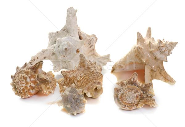 моллюск студию красивой белый природы оболочки Сток-фото © cynoclub