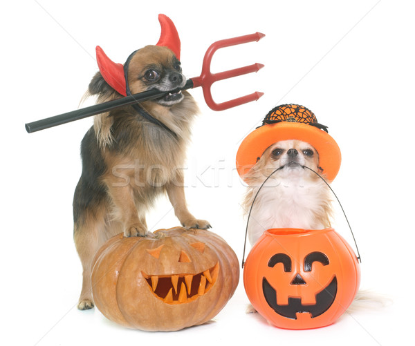 halloween pumpkin and chihuahuas  Stock photo © cynoclub
