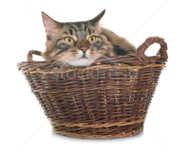 maine coon cat in basket Stock photo © cynoclub