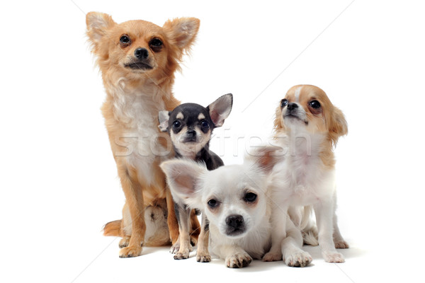 group of chihuahua Stock photo © cynoclub