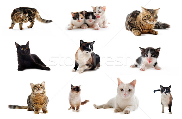 cats in studio Stock photo © cynoclub