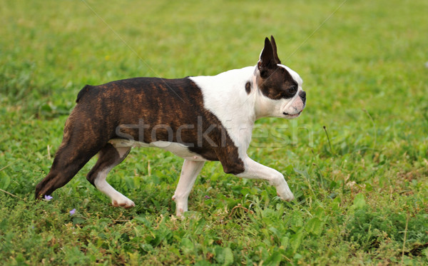 Stock photo: boston terrier