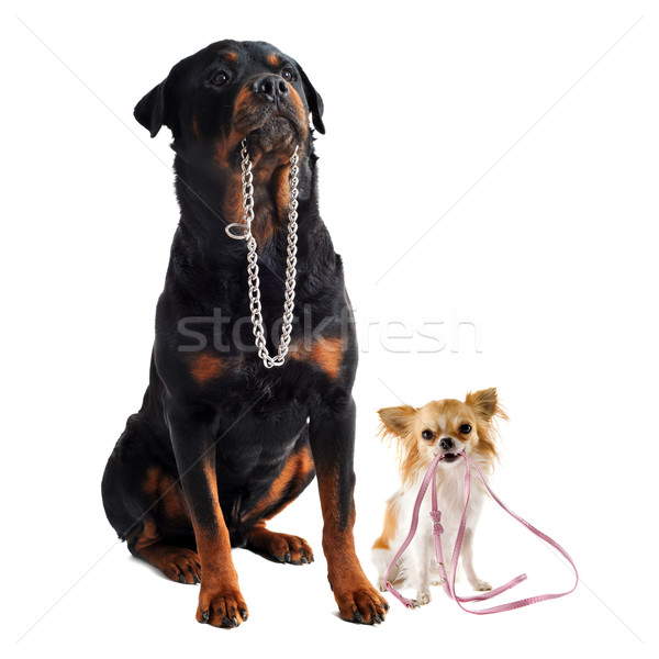 dogs with collar and leash Stock photo © cynoclub
