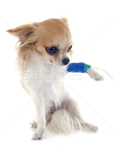 chihuahua and drip Stock photo © cynoclub