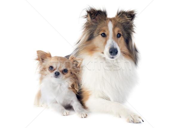 shetland dog and chihuahua Stock photo © cynoclub
