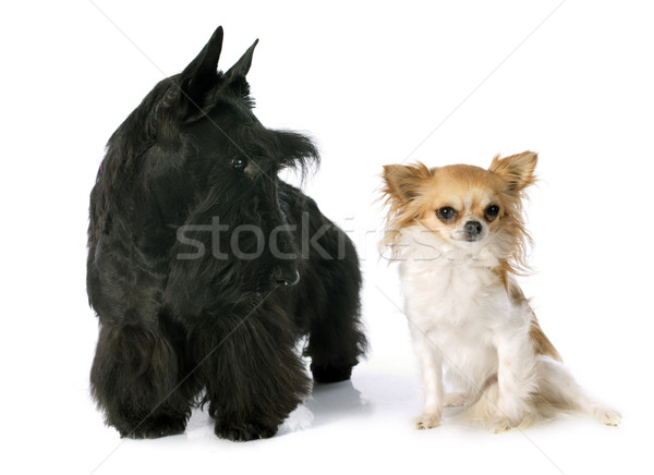 Scottish Terrier and chihuahua Stock photo © cynoclub