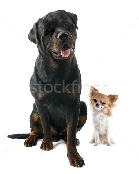 wink of dogs Stock photo © cynoclub