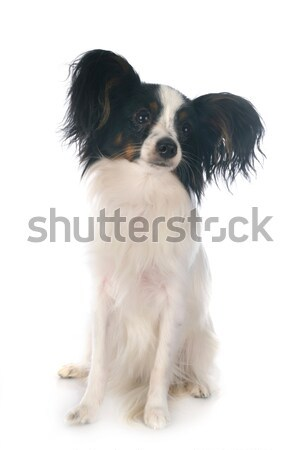 Japanese Chin Stock photo © cynoclub