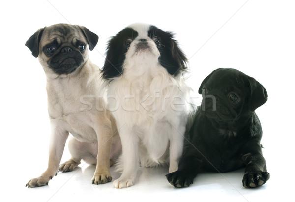 three little dogs Stock photo © cynoclub