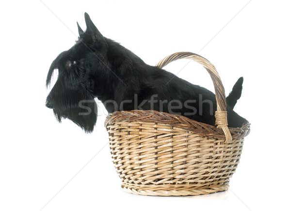 scottish terrier Stock photo © cynoclub