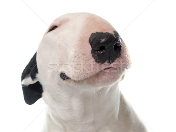 female bull terrier Stock photo © cynoclub