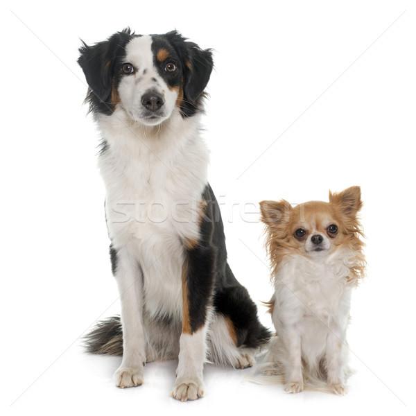 Stok fotoğraf: Minyatür · avustralya · çoban · köpek · siyah · evcil · hayvan