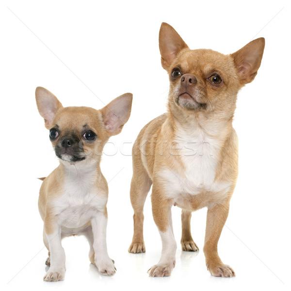 成人 子犬 ショートヘア 犬 女性 ペット ストックフォト © cynoclub