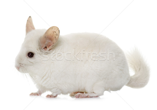 Chinchilla studio jeunes blanche animaux Photo stock © cynoclub