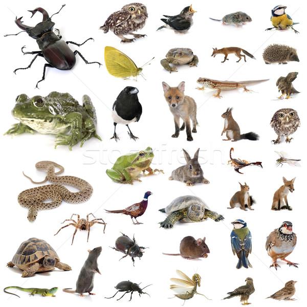 european wildlife in studio Stock photo © cynoclub