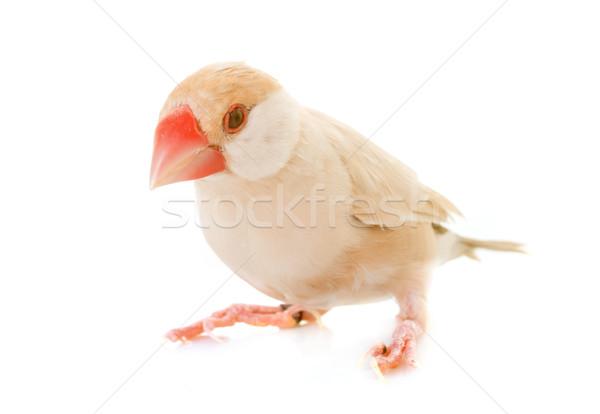 Java gorrión estudio blanco aves femenino Foto stock © cynoclub