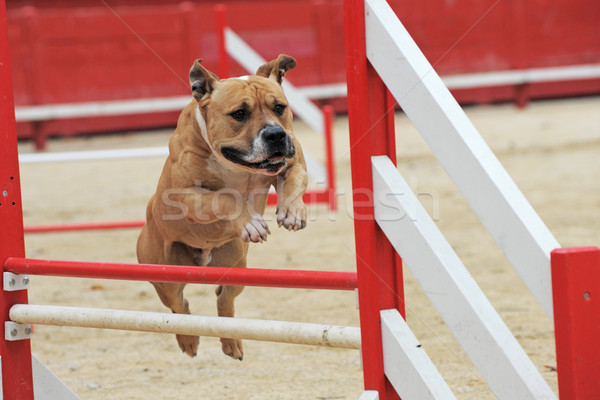 american staffordshire terrier in agility Stock photo © cynoclub