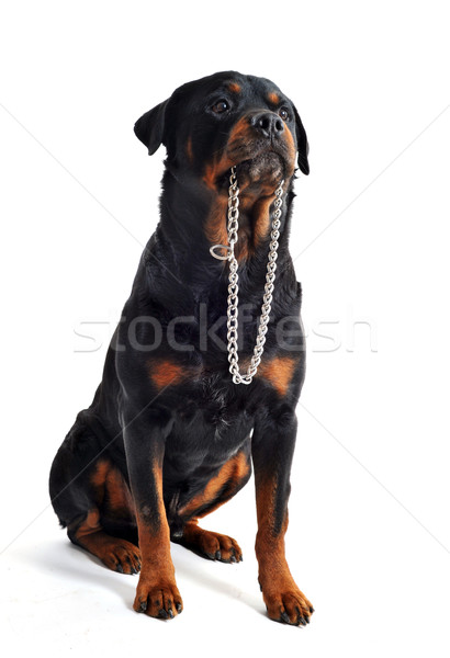 rottweiler and collar Stock photo © cynoclub