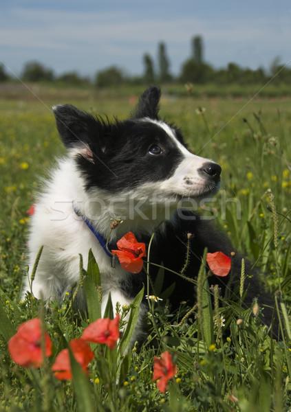 Cucciolo border collie campo papaveri fiore cane Foto d'archivio © cynoclub