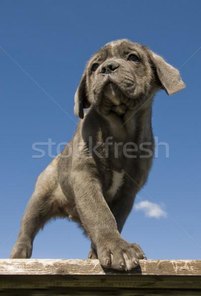 щенков итальянский дог портрет молодые Сток-фото © cynoclub