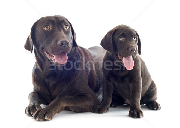 Labrador retriever adulto cachorro blanco perros Foto stock © cynoclub
