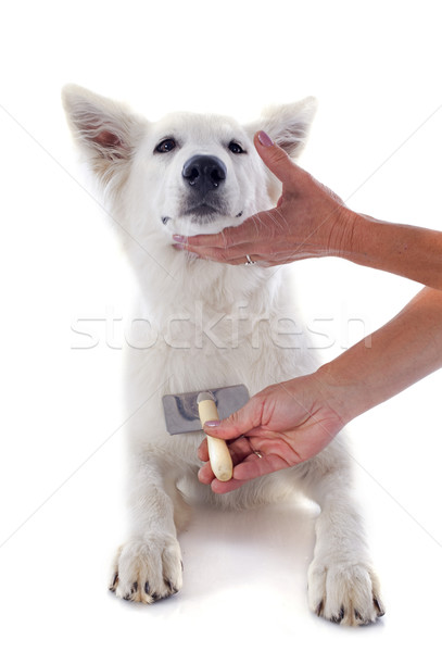 grooming of Swiss shepherd  Stock photo © cynoclub