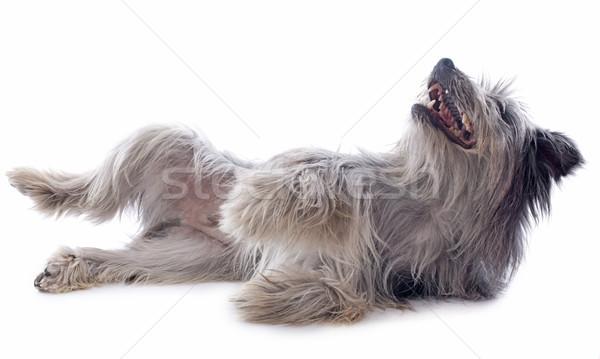 Herdershond portret witte hond mond spelen Stockfoto © cynoclub