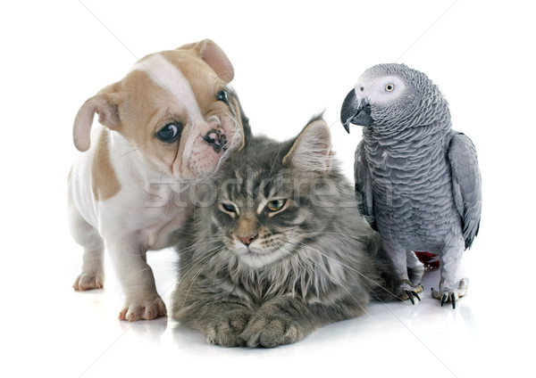 parrot, puppy and cat Stock photo © cynoclub
