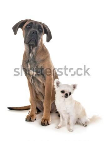 Foto stock: Pastor · cão · branco · estúdio · animal · de · estimação