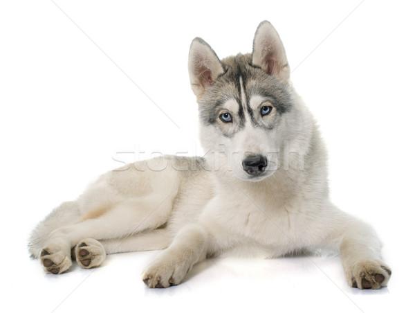 Grigio husky bianco cane occhi blu Foto d'archivio © cynoclub